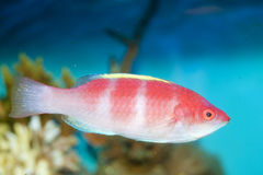 Yellow Fin Fairy Wrasse Royalty Free Stock Photos