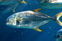 Yellow fin pompano Stock Photos