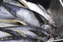 The yellow fin tuna Royalty Free Stock Images