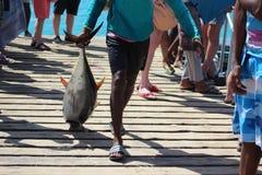 A yellow fin Tuna s dragged unceramoniuosly across the pier stock image