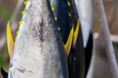 Yellow fin tunas exposed on sale from fishermen Royalty Free Stock Images