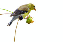 Yellow finch Royalty Free Stock Photography