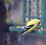 Yellow finch Stock Photo