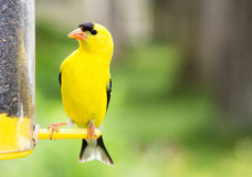 Yellow Finch bird at feeder. Male yellow finch at thistle feeder with bokeh blurred background royalty free stock photography