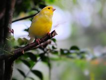 Yellow finch bird Stock Photos