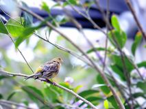Yellow finch bird Stock Images
