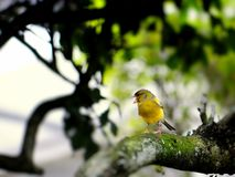 Yellow finch bird. Yellow Finch Sicalis standing on a tree branch in an aviary in Butterfly World, South Florida Stock Photo