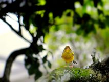 Yellow finch bird. Yellow Finch Sicalis standing on a tree branch in an aviary in Butterfly World, South Florida Stock Photos