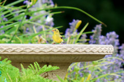 Yellow Finch and Birdbath. Cute yellow finch on the edge of a birdbath Stock Photography