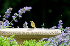 Yellow Finch and Birdbath. Cute yellow finch on the edge of a birdbath Royalty Free Stock Photos
