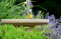 Yellow Finch on Birdbath. A male yellow finch at the edge of a birdbath Stock Image