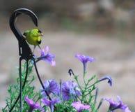 Yellow Finch- Breaktime Royalty Free Stock Photos