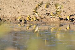 Yellow Finch and Flutter - African Wild Birds Royalty Free Stock Image