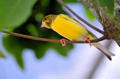 Yellow Finch (Sicalis) bird. Yellow Finch (Sicalis), also called Saffron Finch, standing on a tree branch in an aviary in Butterfly World, South Florida Stock Photography