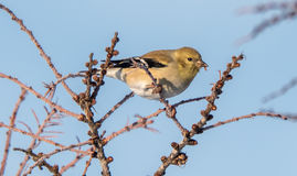 Yellow Finch In Winter. Eating seeds from a tree Royalty Free Stock Images
