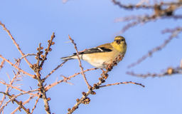 Yellow Finch In Winter. Eating seeds from a tree Royalty Free Stock Photography