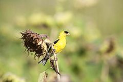 Yellow Finch Stock Photos
