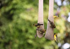Yellow Finches Eating Outdoors From a Hanging Seed Royalty Free Stock Image