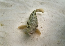 Yellow Finned Goby Stock Photo