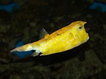 Yellow fish Stock Image