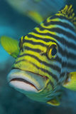 Yellow fish Royalty Free Stock Images