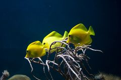 Free Yellow Fish Stock Photography - 13472492