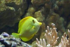 Yellow Fish Royalty Free Stock Photo