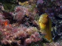Yellow fish Royalty Free Stock Image