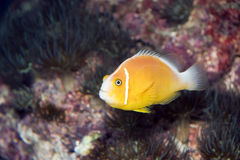 Yellow Fish. A close photo of a small yellow fish Royalty Free Stock Image