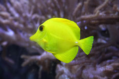 Yellow Fish. A yellow fish in the water Stock Photography