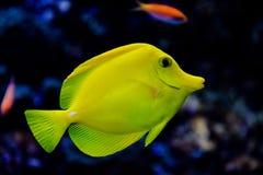 Yellow fish. In Aquarium. Poland Stock Photo
