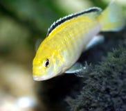 Yellow fish #3. Macro image of Yellow fish in aquarium Stock Image