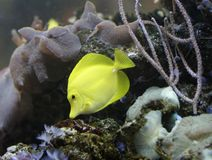 Yellow fish. Yellow Tang (Zebrasoma flavescens Stock Photography