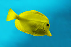 Yellow fish. Swim in the blue water Stock Photography