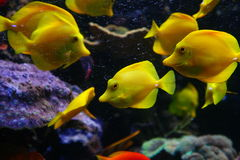 Yellow fish. Ocean aquerium showing bright yellow fish royalty free stock photos