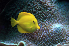 Yellow fish in the aquarium Royalty Free Stock Photo