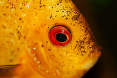 Yellow fish in aquarium Stock Photo
