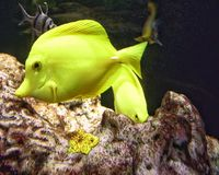 Yellow fish. Aquarium sea life Stock Photography