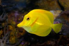 Yellow Fish in aquarium royalty free stock photography