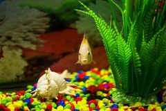 Yellow fish in aquarium. royalty free stock photo