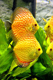 Yellow fish in aquarium tank. Yellow salt water tropical fish in aquarium tank Stock Photography