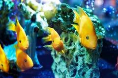 Yellow fish in the aquarium stock image