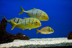 Yellow fish with black stripes Royalty Free Stock Image