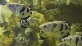 Yellow fish with black stripes. Beautiful and rare fish. Seaquarium: the rare fish in the aquarium. Yellow fish with black stripes. Beautiful and rare fish stock footage