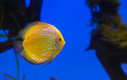 Yellow fish on a blue background Stock Images