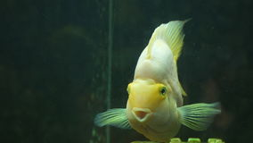 Yellow fish of Cichlasoma parrot in aquarium. Yellow fish of Cichlasoma parrot. in aquarium. Close-up stock video