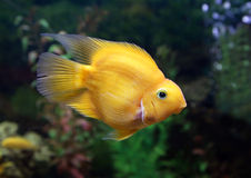 Yellow fish of Cichlasoma parrot in an aquarium interior Royalty Free Stock Image