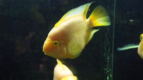 Yellow fish of Cichlasoma parrot. Floats stock video