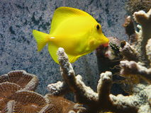 Yellow Fish and Coral. Reef at aqvarium Stock Photo