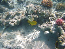 Yellow fish and coral. Reef at the Red sea Royalty Free Stock Image